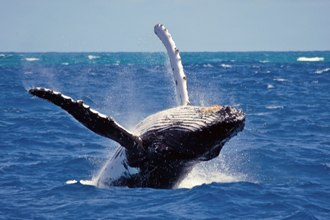 Whale Watching at Mirissa, Galle